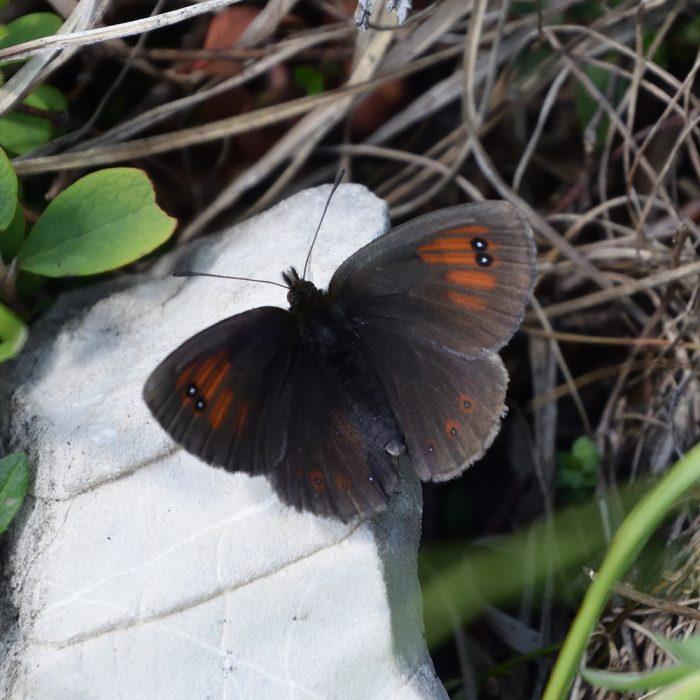 Schillernder Mohrenfalter (Erebia tyndarus) auf Stein