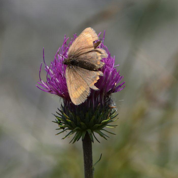 Unpunktierter Mohrenfalter (Erebia pharte) auf Distel