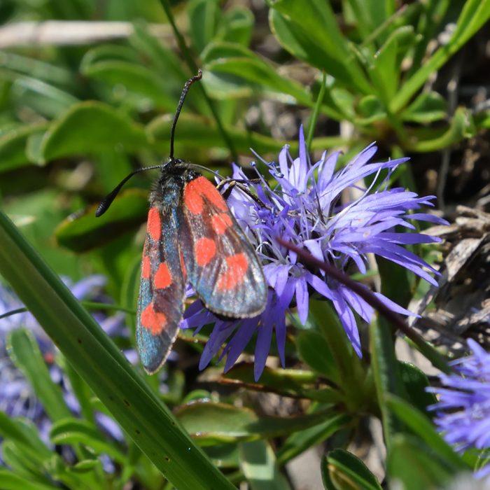Beilfleck-Widderchen auf Wildblume
