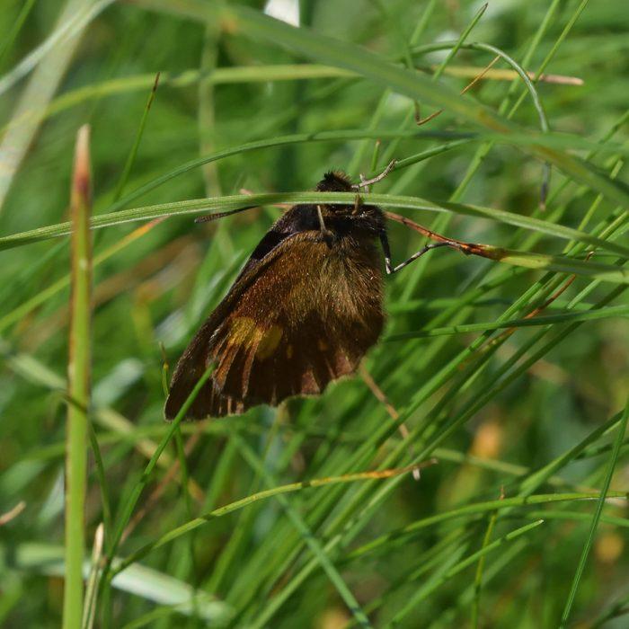 Gelbgefleckter Mohrenfalter (Erebia manto) auf Gras