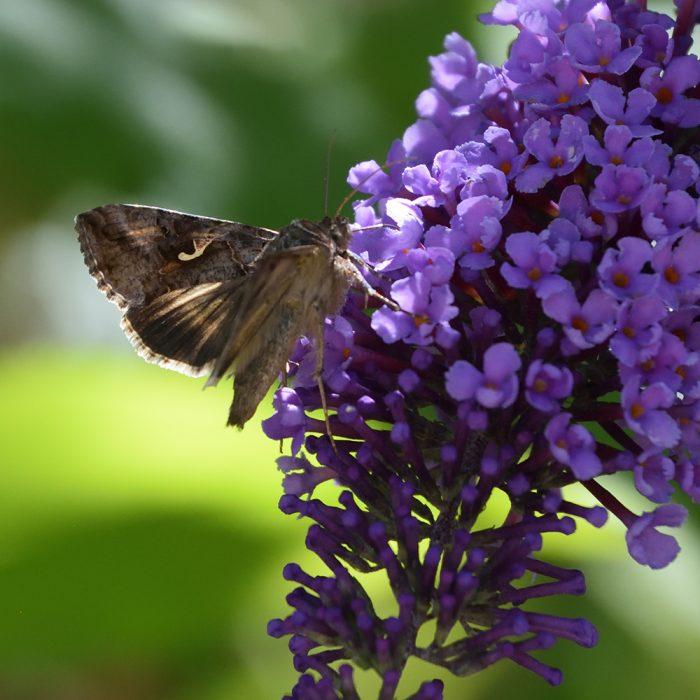 Gammaeule auf Schmetterlingsflieder