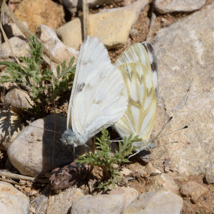Checkered White am Boden (Pecos Co., Texas)