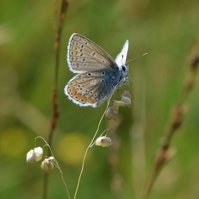 Hauhechel-Bläuling auf Gras