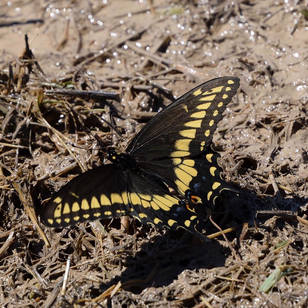 Black Swallowtail am Boden (Pecos Co., Texas)