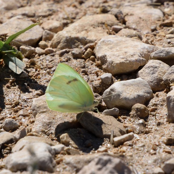 Lyside Sulphur am Boden (Pecos Co., Texas)