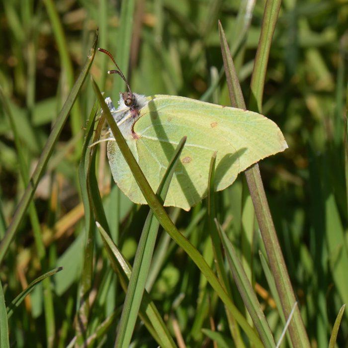 Zitronenfalter (Gonepteryx rhamni) auf Gras