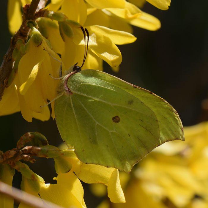 Zitronenfalter (Gonepteryx rhamni) auf Forsythie