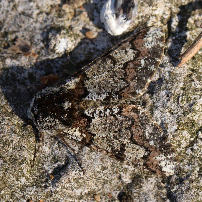 Pappel-Dickleibspanner (Biston strataria) auf Stein