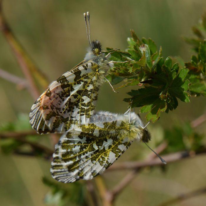 Aurorafalter (Anthocharis cardamines) auf Weißdorn