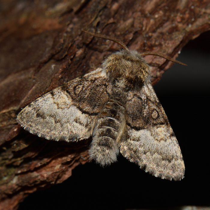 Haseleule (Colocasia coryli) auf Holz