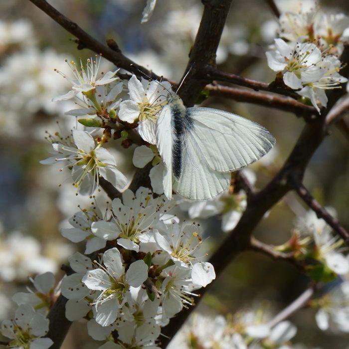 Grünader-Weißling (Pieris napi) auf Schlehe