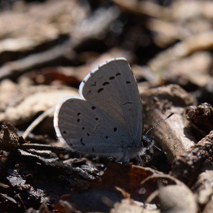 Faulbaum-Bläuling (Celastrina argiolus) auf Waldboden