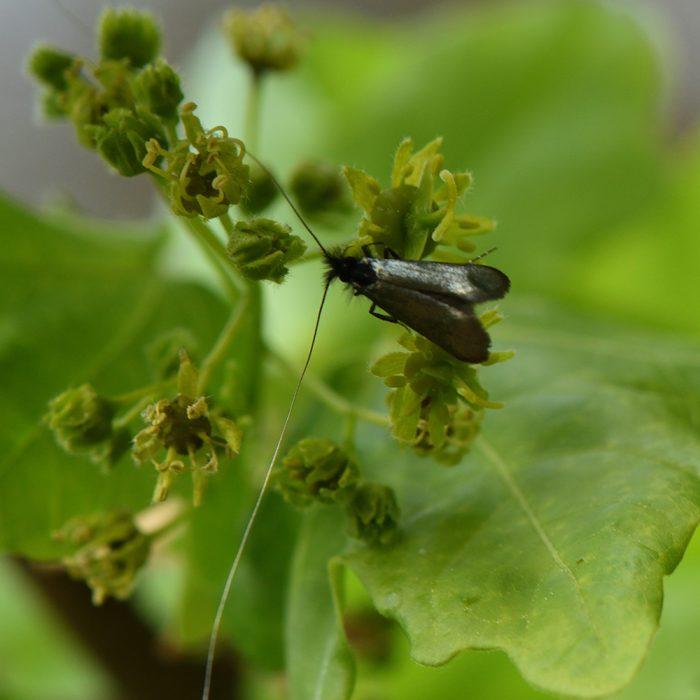 Langhornmotte (Adela reaumurella) auf Eiche