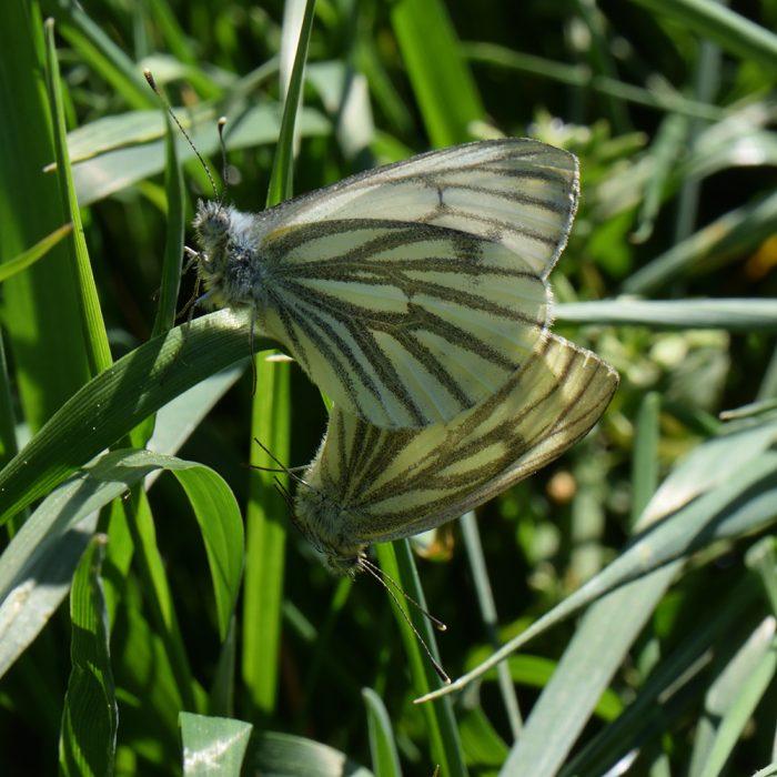 Grünader-Weißling (Pieris napi) auf Gras