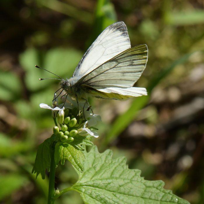 Grünader-Weißling (Pieris napi) auf Knoblauchsrauke