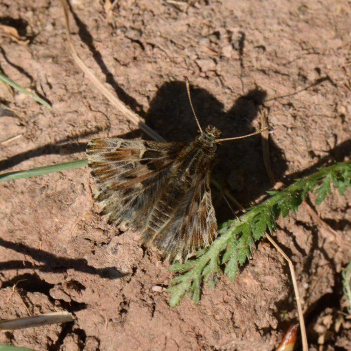 Malven-Dickkopffalter (Carcharodus alceae) auf Boden