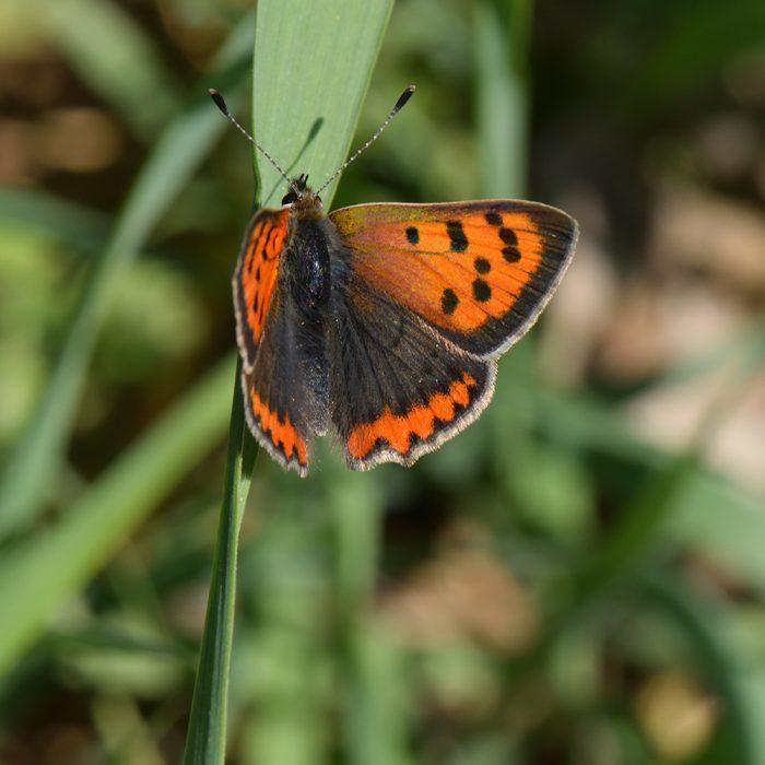 Kleiner Feuerfalter (Lycaena phlaeas) auf Gras