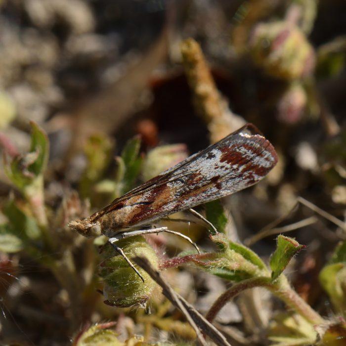 Zimtfarbener Schmalzünsler (Ancylosis cinnamomella) auf Wiese