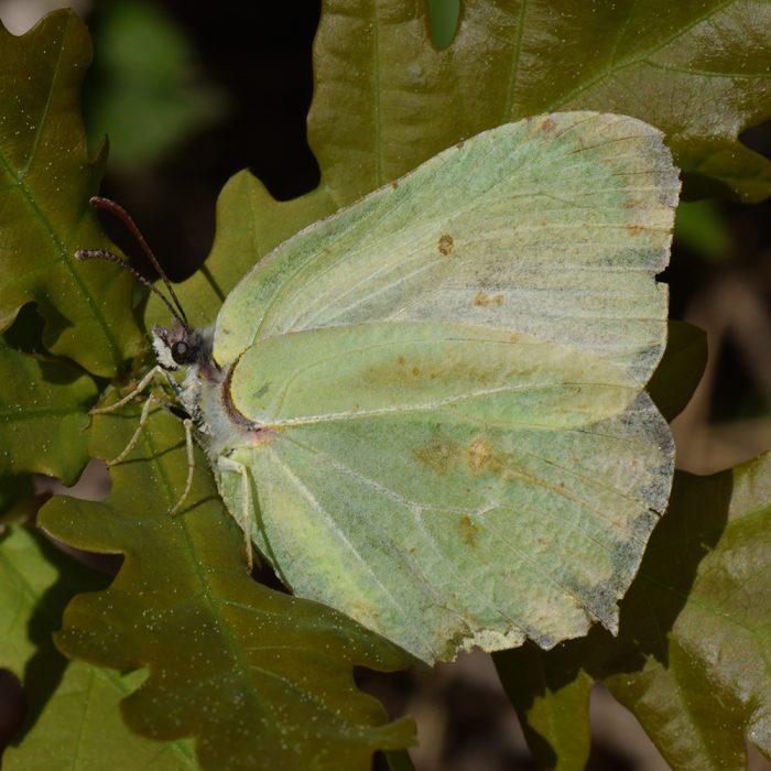 Zitronenfalter (Gonepteryx rhamni) auf Eiche