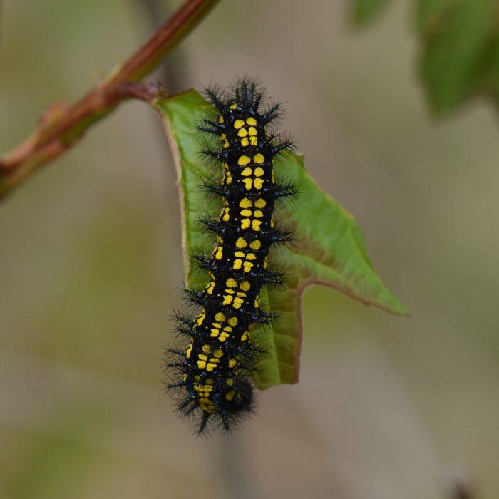 Eschen-Scheckenfalter (Euphydryas maturna) Raupe auf Strauch