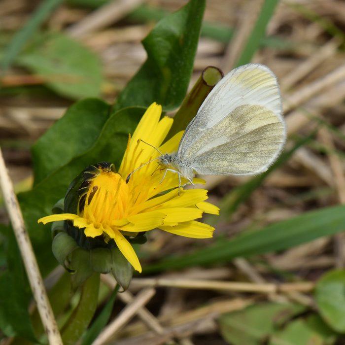 Tintenfleck-Weißling (Leptidea sinapsis) auf Löwenzahn