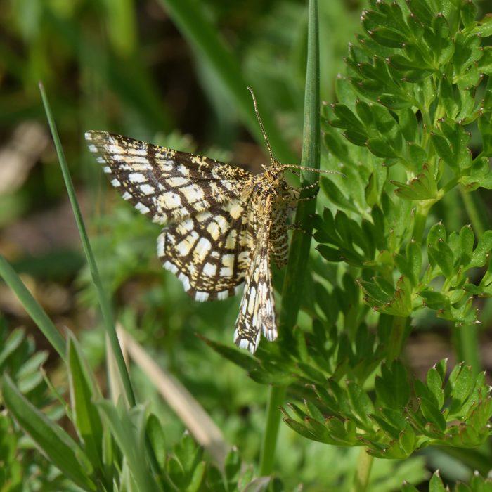 Klee-Gitterspanner (Chiasmia clathrata) auf Gras