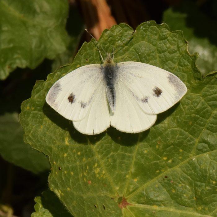 Karstweißling (Pieris mannii) auf Malve