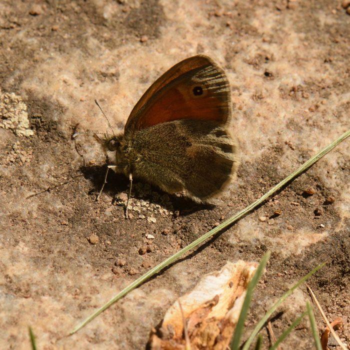 Kleines Wiesenvögelchen (Coenonympha pamphilus) auf Stein