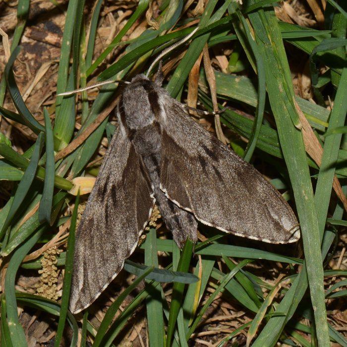 Kiefernschwärmer (Sphinx pinastri) auf Gras