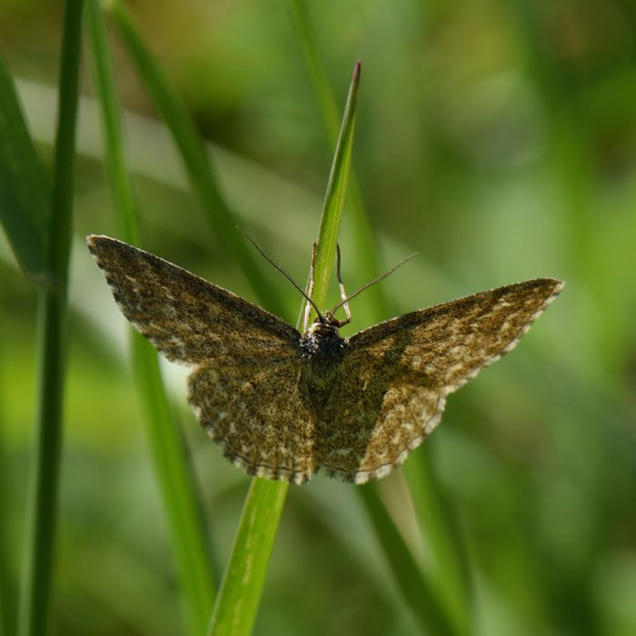 Marmorierter Kleinspanner (Scopula immorata) auf Gras