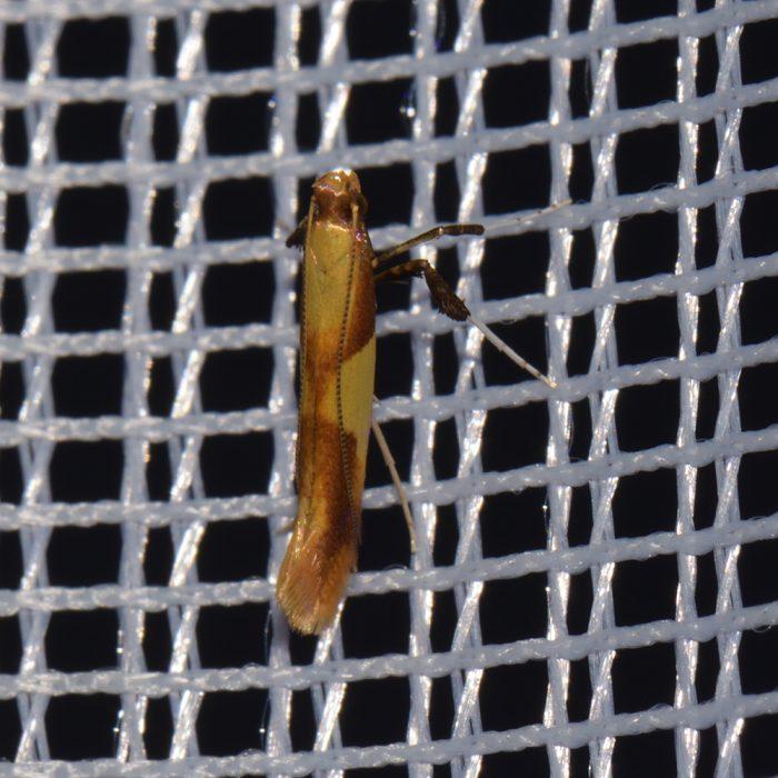 Miniermotte (Caloptilia robustella) beim abendlichen Leuchten