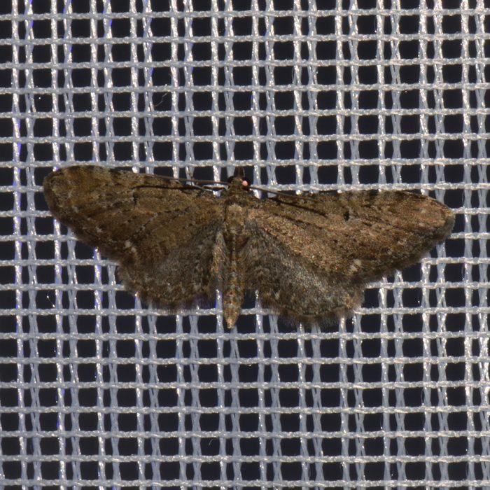 Gemeiner Blütenspanner (Eupithecia vulgata) beim abendlichen Leuchten