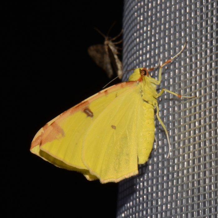 Gelbspanner (Opisthograptis luteolata) beim abendlichen Leuchten