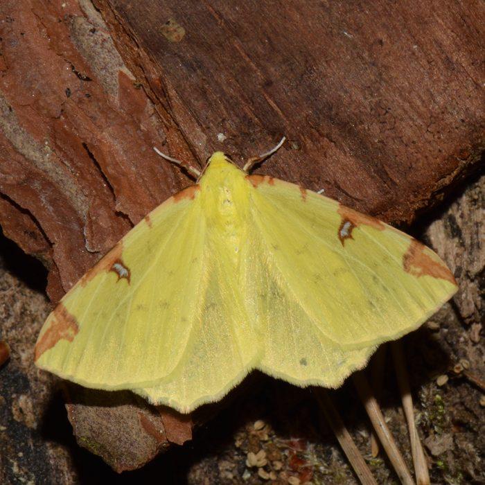 Gelbspanner (Opisthograptis luteolata) auf Holz