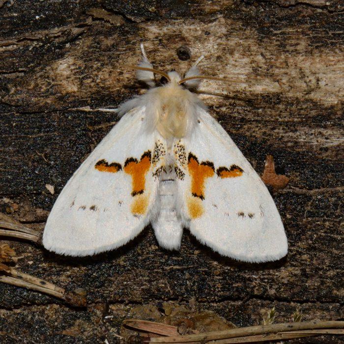 Weißer Zahnspinner (Leucodonta bicoloria) auf Holz