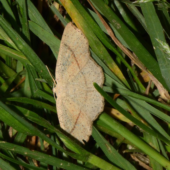 Gepunkteter Eichen-Gürtelpuppenspanner (Cyclophora punctaria) auf Gras