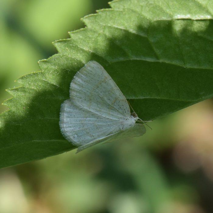 Braunstirn-Weißspanner (Cabera exanthemata) auf Strauch