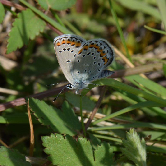 Kronwicken-Bläuling (Plebejus argyrognomon) auf Gras