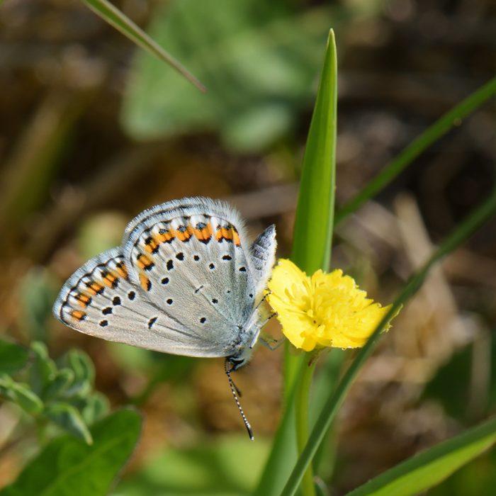 Kronwicken-Bläuling (Plebejus argyrognomon) auf Wildblume