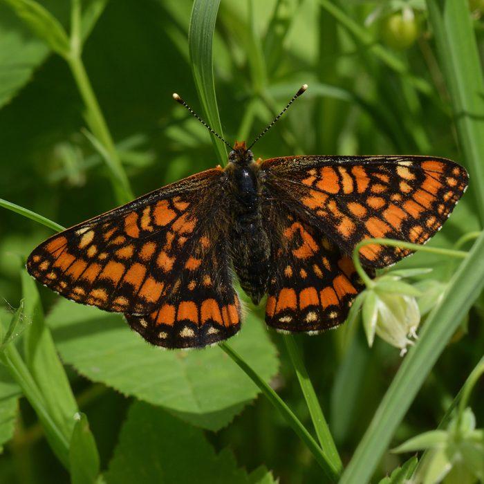 Eschen-Scheckenfalter (Euphydryas maturna) auf Gras