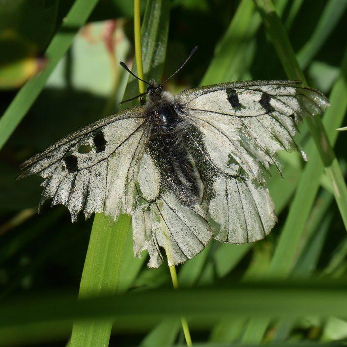 Schwarzer Apollo (Parnassius mnemosyne) auf Gras