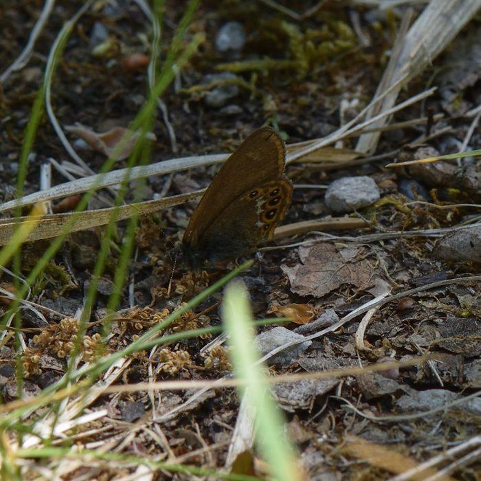 Wald-Wiesenvögelchen (Coenonympha hero) auf Waldboden