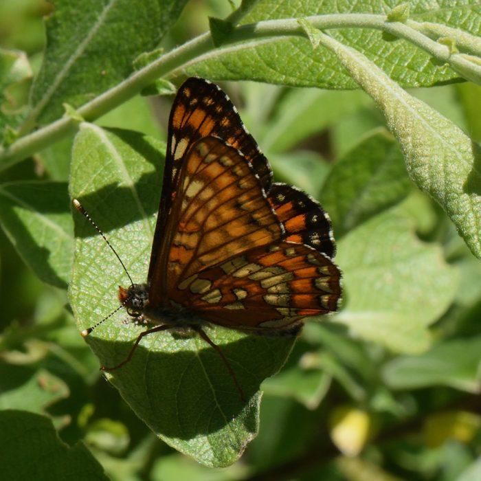 Eschen-Scheckenfalter (Euphydryas maturna) auf Salweide