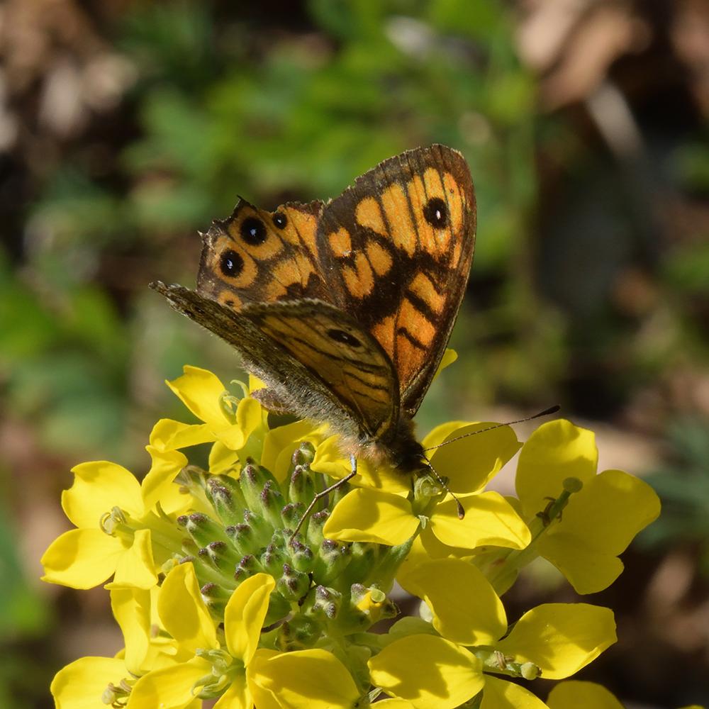 Mauerfuchs (Lasiommata megera) auf Wildblume