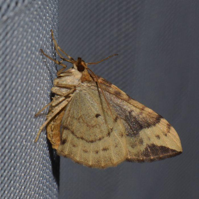 Veränderlicher Haarbüschelspanner (Eulithis populata) beim abendlichen Leuchten