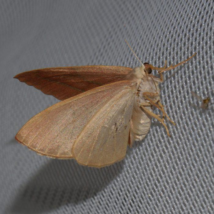 Zweibindiger Nadelwald-Spanner (Hylaea fasciaria) beim abendlichen Leuchten