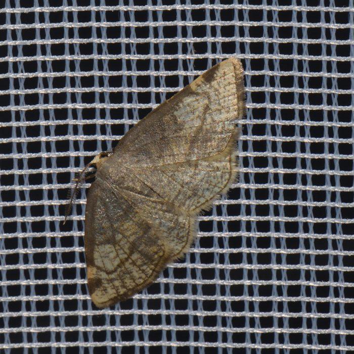 Dreifleck-Pappelspanner (Stegania trimaculata) beim abendlichen Leuchten