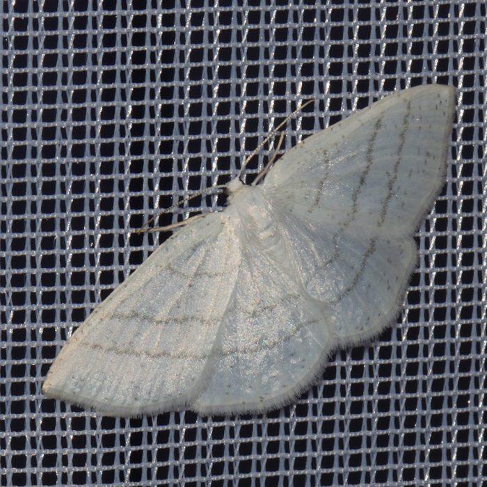 Weißstirn-Weißspanner (Cabera pusaria) beim abendlichen Leuchten