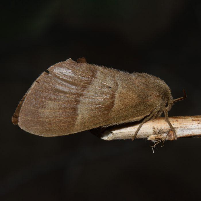 Brombeerspinner (Macrothylacia rubi) auf Stock