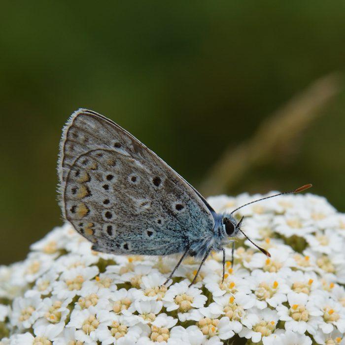 Hauhechel-Bläuling (Polyommatus icarus) auf Schafgarbe